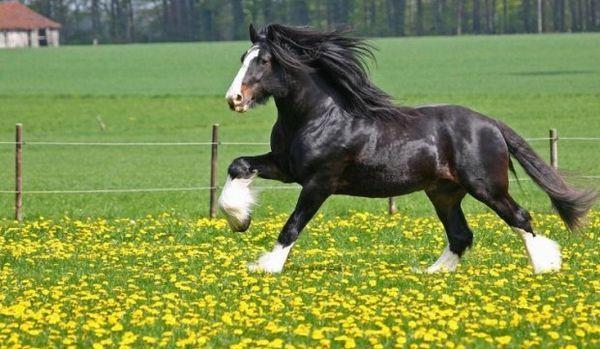 Шайрської тяжелоупряжних порода коней