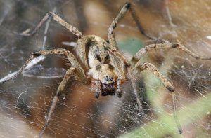 Lievikový pavúk: popis, štrukturálne prvky, jedovaté alebo nie