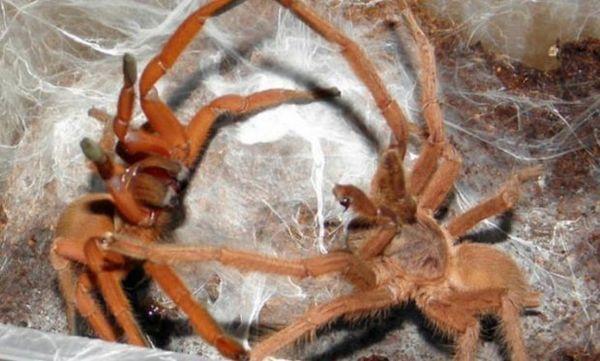 Párenie lievikovitých pavúkov