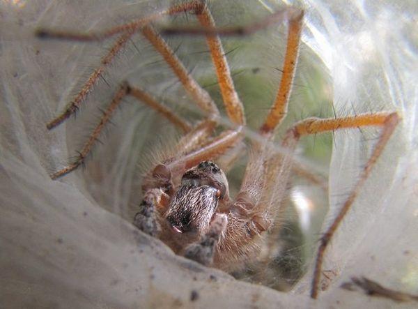 Lievikové pavúky