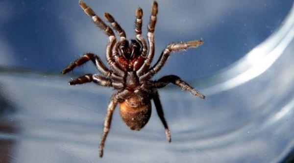 Lievikový pavúk
