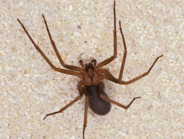 Hnedý samotársky pavúk