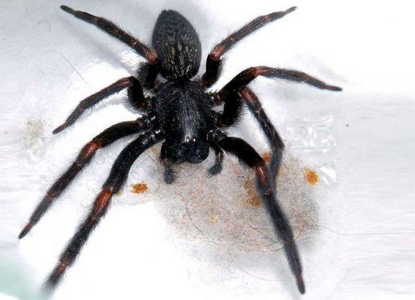 Domový pavúk