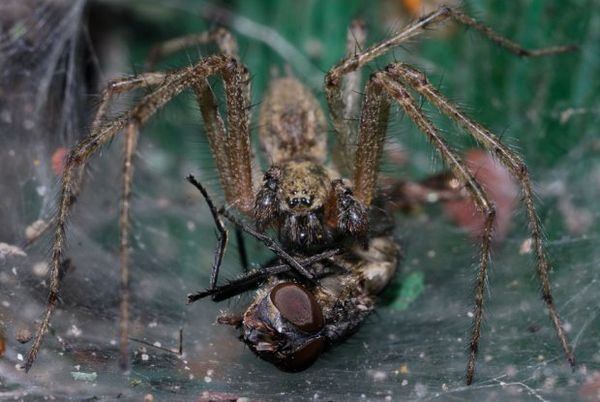 Lievikové pavúky a korisť