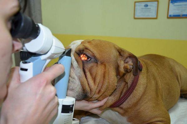Възпаление от третия век при кучета: симптоми и лечение