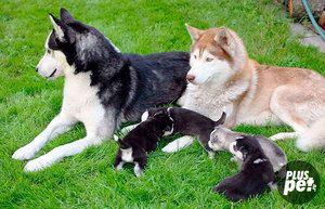 Як виховувати щеня хаскі