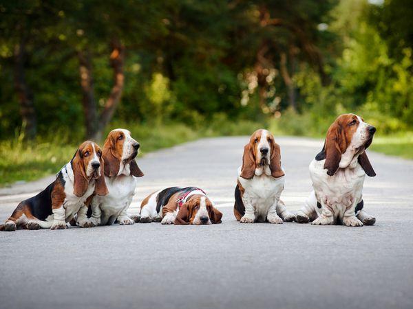 Бассет-хаунд - собаки мисливські.