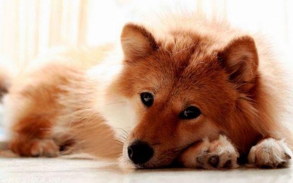 Je možné, aby pes kašľal od červov: choroby, príznaky, liečba (lieky)