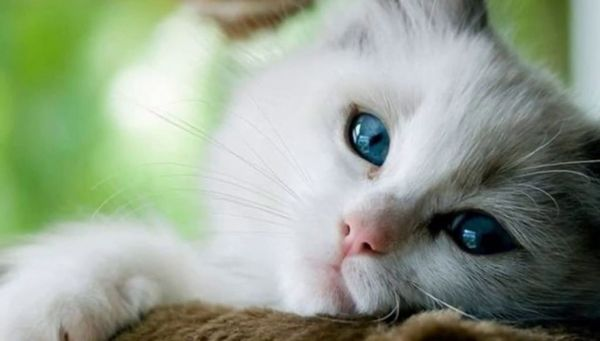 Мокрий і вологий ніс у кішки дозволяє їй визначати напрямок вітру, щоб приховати свій же запах від тих, на кого планується полювання