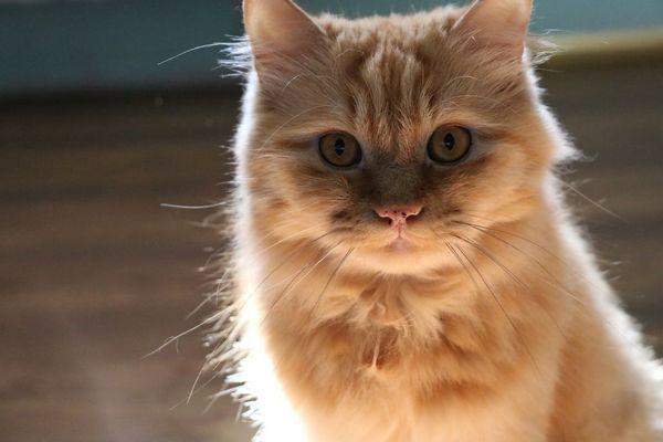 Підвищену температуру у кішок (до 40С) настійно не рекомендують збивати ліками