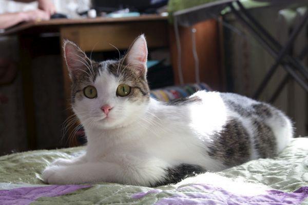 стерилізована кішка