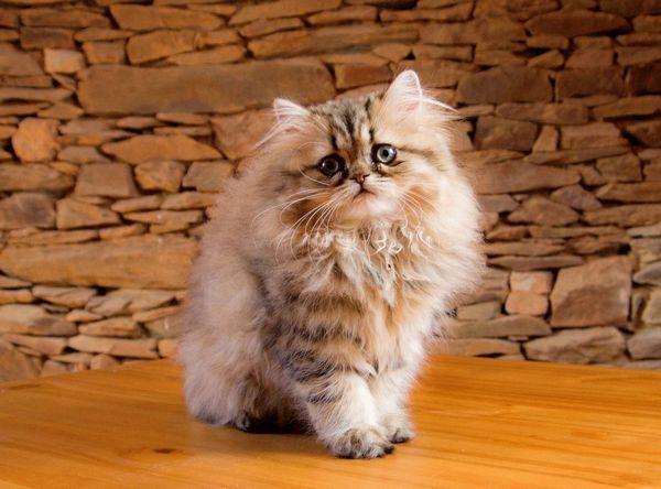 персидська кішка