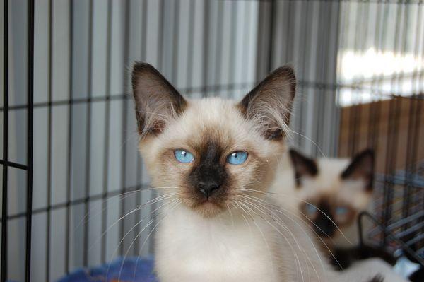 тайський кошеня