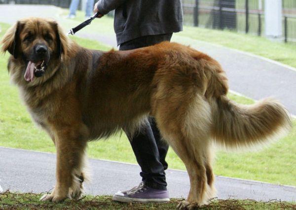 Великі породи собак