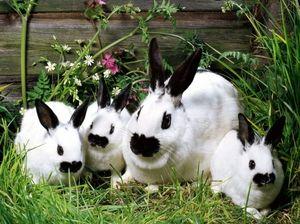 Все, що потрібно знати про породу кролика `бабочка`