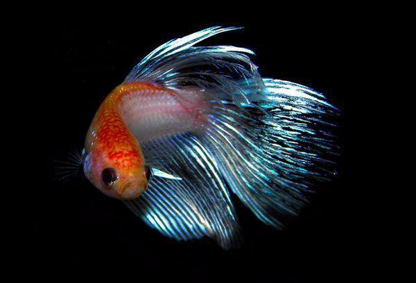 риба півник