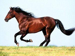 Всі цікаві факти про коней. Породи, професії