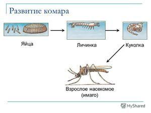 Všetko o komároch: hlavný druh, vývoj lariev