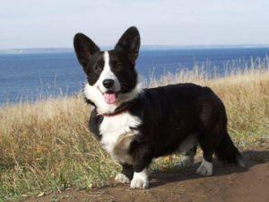 Собака породи коргі Пемброк чорного забарвлення