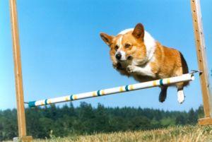 Активність собак вельш коргі пемброк