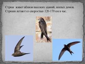 Všetko o rýchlych vtákoch: ako vyzerajú, kde žijú a čo jedia