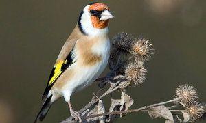 птах щиглик