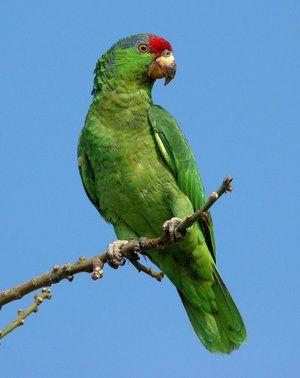 Всичко най-важно и интересно за амазонските папагали