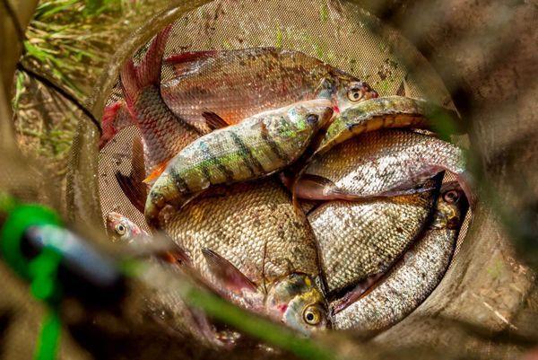 Річкова риба