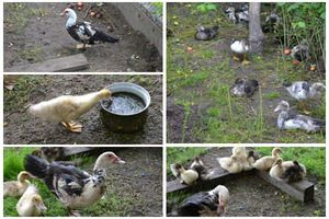 Все про розведення і утримання качок в домашніх умовах