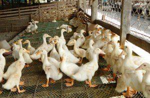 Aké podmienky sú potrebné na chov kačiek?