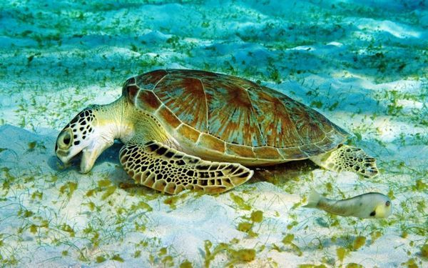 Všetko o chove morských korytnačiek v byte