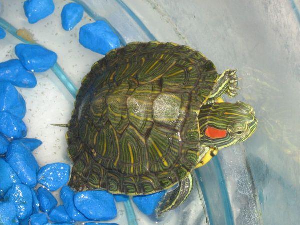 Все про зміст морських черепах в квартирі