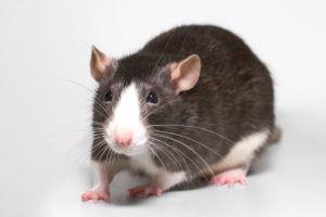 Všetko o starostlivosti a údržbe domácich potkanov