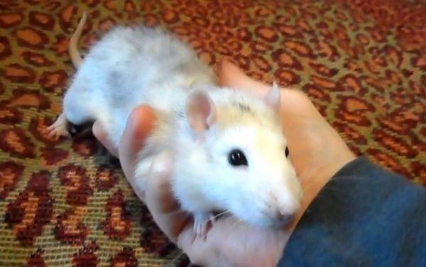 Ручний пацюк Саніт