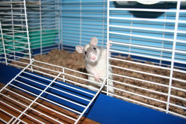 Клітка з щуром