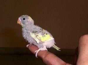 Пташеня хвилястого папугу
