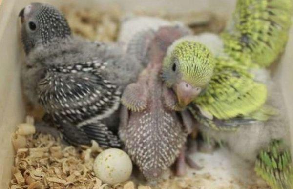 Пташенята хвилястих папуг