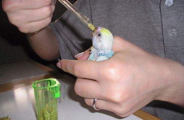 Годування пташеня хвилястого папугу