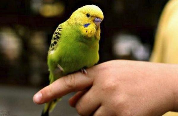 Приручений хвилястий папуга