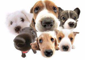 Вибираємо безпечного вихованця: гіпоалергенні породи собак