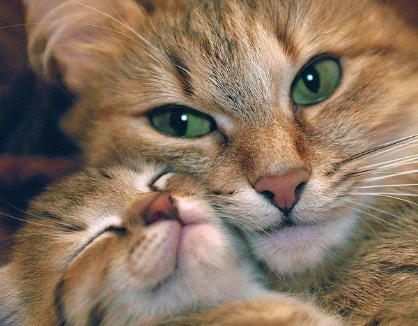 як вибрати кошеня, вік кошеня, мама кошеня, за якими критеріями вибирати кошеня