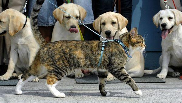 чи потрібно вигулювати кішку