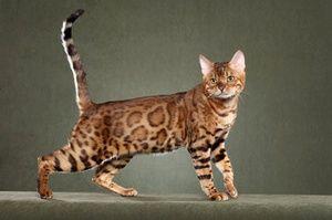 Список дорогих порід кішок