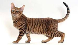 Тигрова кішка: опис