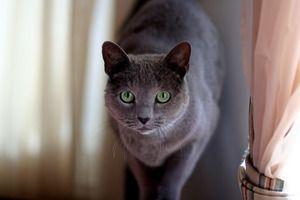 Російська блакитна кішка: опис