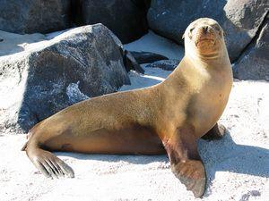 Галапагоський морський лев - що це за тварина