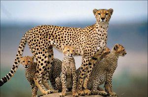 Гепардів в світі стає все менше