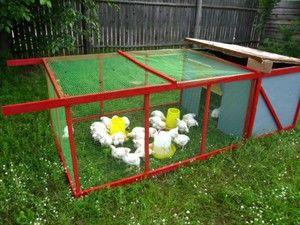 Умови для розведення курчат