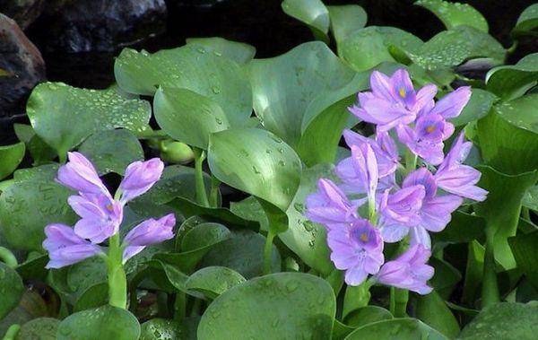 водяний гіацинт