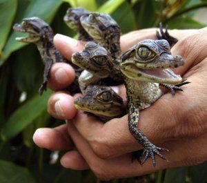 Домашні крокодили